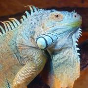 Iguane peur